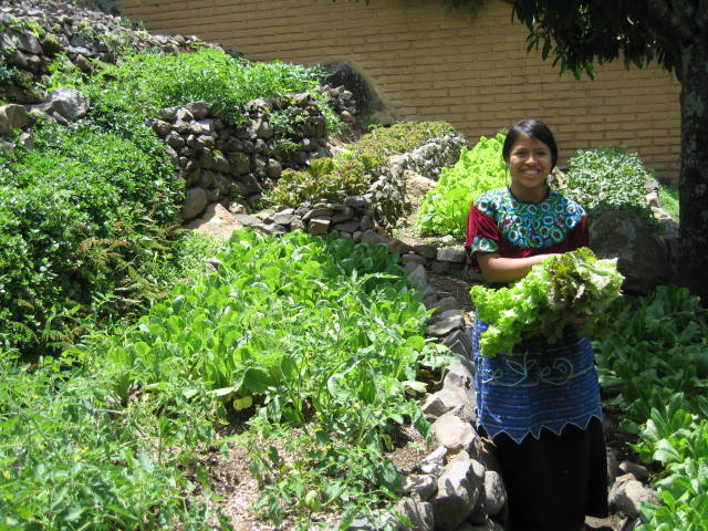Laguna Lodge harvesting from our organic gardens