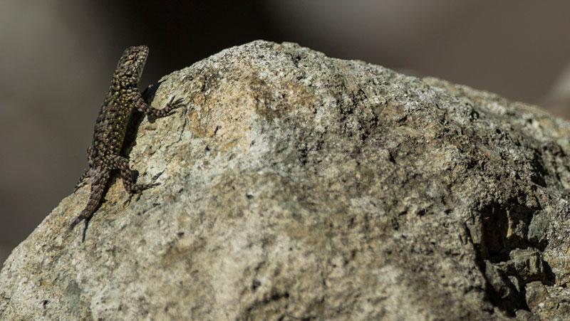 LizardlukeCut