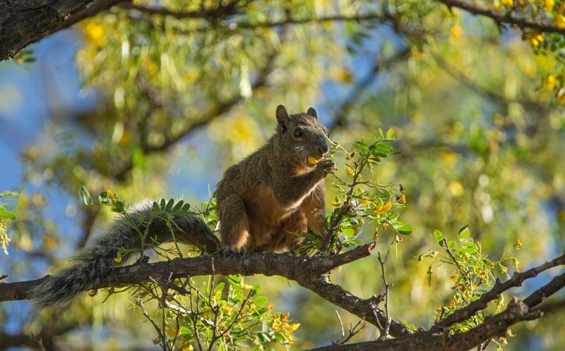 Squirrel1lukeMed
