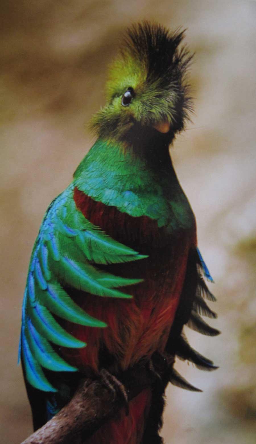 Laguna-Lodge-quetzal-on-branch