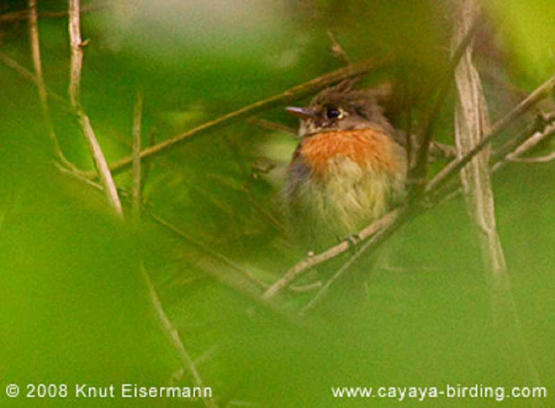 belted-fly-catcher-laguna-lodge