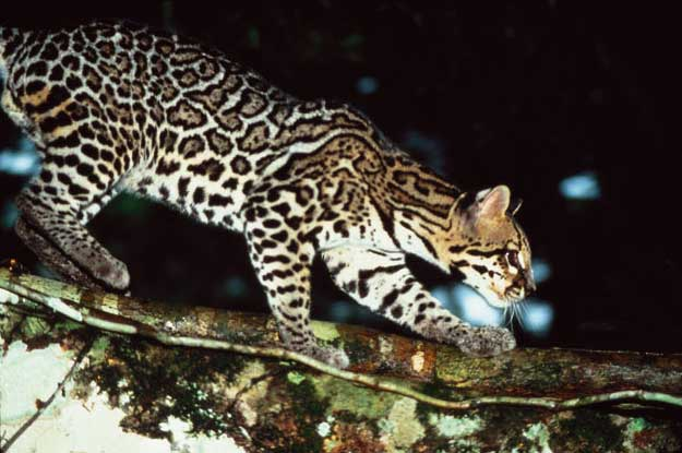 margay-laguna-lodge